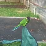 perroquet_camping